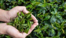 Yeşil Çayın Uzun Ömürlü Olması İçin Nasıl Saklanır Gelin Bakalım