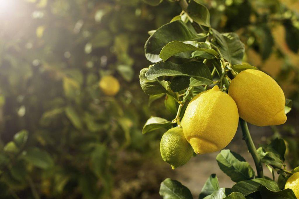Limon Kavanozda Nasıl Saklanır?