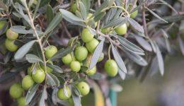 Yeşil Zeytin Nasıl Saklanır? Erimemesi için Ne Yapılır?