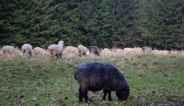 Kara Koyun Meler Gider Dağı Taşı Deler Gider Bilmecesi