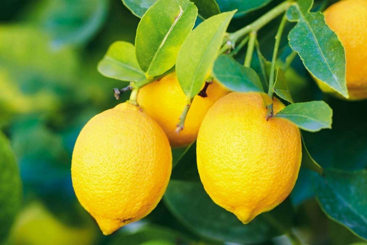 Limon Ne Zaman Sıkılır Bilmecesi