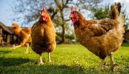 Tavukların Kaç Ayağı Vardır Bilmeceleri