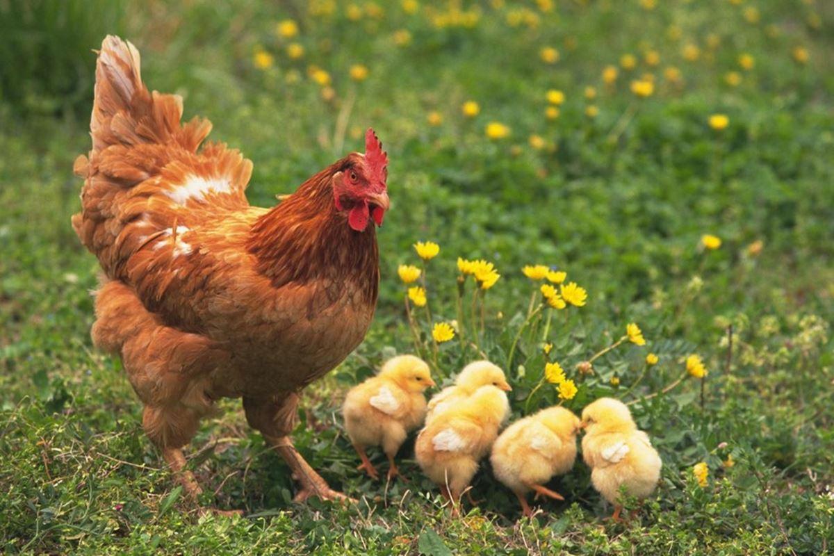 Tavuk ile İlgili Bilmeceler