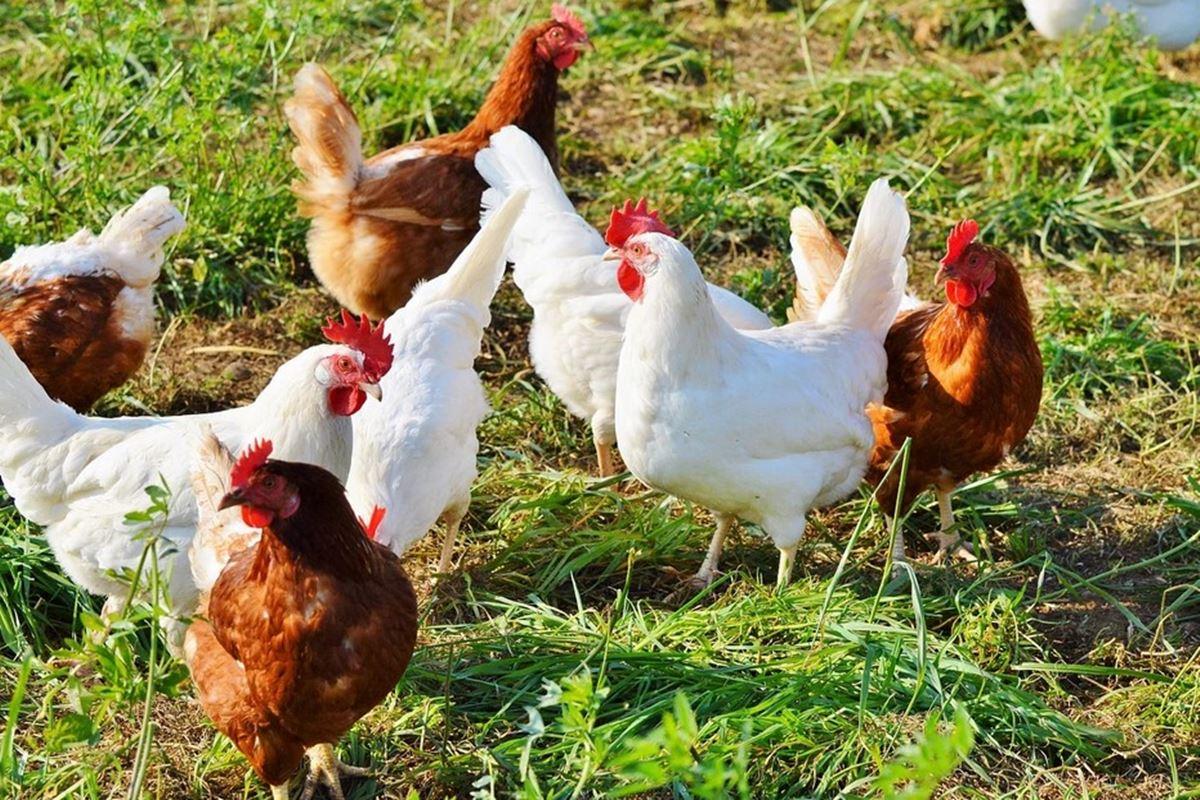 Tavuk Ayda Kaç Yumurta Yapar? Bilmecesi